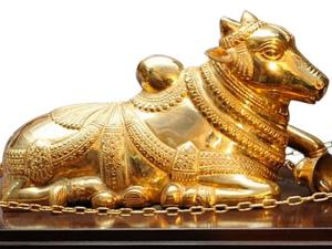 A Nandi Changed Into Golden Colour Once Every Year