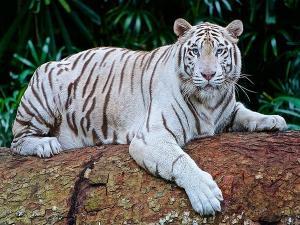 Rewa Trip You Want See White Tigers