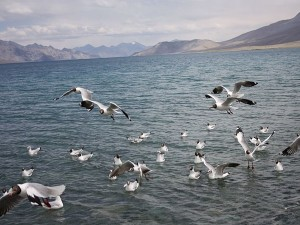 Pangong Travel Guide Attractions Things To Do And How To