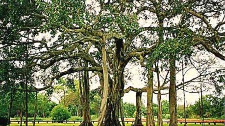 இந்தியாவின் மிகப்பெரிய ஆலமரங்களைக் காண செல்வோமா?