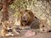 12 காட்டுச் சிங்கங்களுக்கு மத்தியில் பிறந்தவன்... கிர் காட்டில் திகில் பிரசவம்