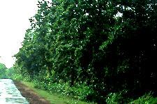 சாந்திநிகேதன் - சாலமரக் காடு